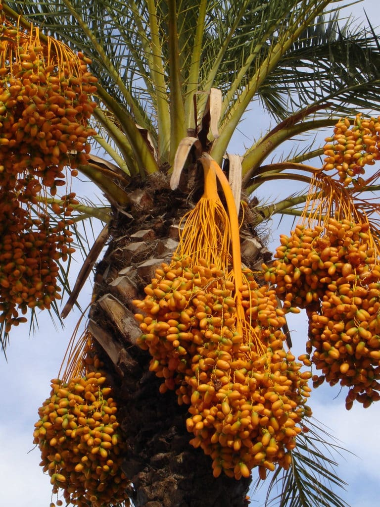 medjool dates hanging from a date palm tree